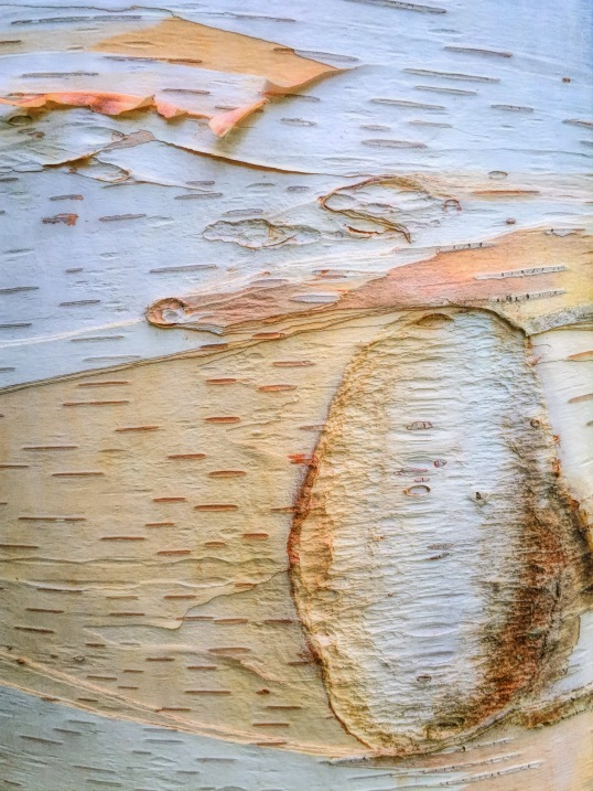 Birch Tree Bark Colorado